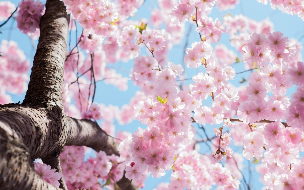 A cherry tree blossoms in springtime. Spring heating and cooling tips by Sunrise